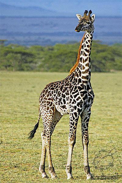 ...позвонков, как и другие млекопитающие (только они намного больше).